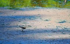 Solitary sandpiper (2) (TabbyRex) Tags: bird virginia fairfax sandpiper solitary lakeroyal