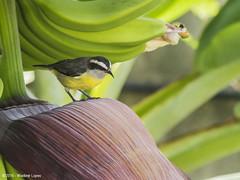 In the Banana Tree - Cambacica / Banana quit (Wladimir Lopes) Tags: bird ave smallbirds bananaquit cambacica cagasebo sebinho papabanana