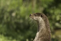 Otter alert (labprim8) Tags: europeanotter britishwildlifecenter