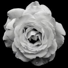 rose_5300 (JTGYK) Tags: monochrome rose canonpowershotg11 canong11