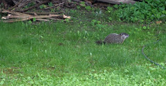 Baby Woodchuck (RockN) Tags: massachusetts newengland woodchuck worcester orgroundhogifyouprefer