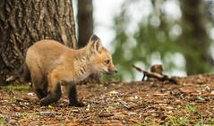 IMG_4707 Red Fox Kits at Play (Wallace River) Tags: novascotia kits playtime foxkits redfoxkits
