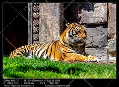 Bengal tiger (__Viledevil__) Tags: wild orange eye nature beautiful beauty face animal yellow danger cat mouth dark hair mammal big dangerous feline fierce head stripes wildlife tiger conservation anger jungle angry beast hunter aggressive predator wildcat staring striped hunt carnivore undomesticatedcat