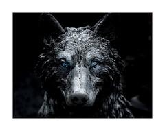 """Can you give me a 'Nice Doggie', Pilgrim ? "" (sorrellbruce) Tags: bw nikon wolf surreal horror nightmare fright selectedcolor macbre lr6 photoninja colorefexpro nikkor105mmf2ddc nikond750 petebridgwoodsharpeningpresets"