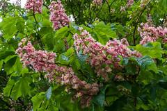 Aesculus Hippocastanum Carnea (Rob Jennings2) Tags: pink tree spring chestnut bracknell carnea pinkchestnut wildridings aesculushippocastanumcarnea
