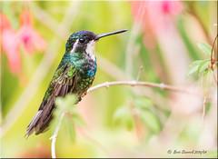 ' a real eye-catcher' (d-lilly) Tags: costarica hummingbirds lifer whitethroatedmountaingemhummingbird costarica2016 naturestapestryphotoadventuretours
