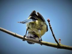 'Peek-a-Blue' (2jaysjoju) Tags: blue sky tree birds garden outdoors day branch box feathers sunny cheeky nesting bluetits