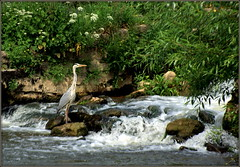 Fishing (* RICHARD M (Over 5 million views)) Tags: summer england nature birds june waterfall fishing fisherman flora bath rocks wildlife somerset unescoworldheritagesite ardea foam rivers vegetation ardeacinerea verdant summertime lush ornithology floraandfauna grayheron riveravon ardeidae greyheron cityofbath bathsomerset severnavon predatorywadingbirds cityofbathworldheritagesite wadingbirdpredator