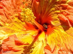 finding nectar (obypix) Tags: nature spring flikr
