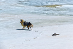 A dog running on the ice.. - Lac du Lou - Savoie - France (Felina Photography) Tags: trip schnee wallpaper dog mountain lake snow france alps tourism ice nature montagne poster landscape snowshoe lago photography see frozen frankreich meer fotografie photographer tour hiking sneeuw natuur lac natura hike adventure neve snowshoeing neige ausflug frankrijk alpen fotografia savoie gita excursions paysage turismo alpi francia valthorens montagna paesaggio hotspot excursion tourismus landschap fotografo  fotografa uitje ijs ghiaccio felina  excursie rhnealps racchette  toerisme escursione  ghiacciato tocht escursioni turismus lacdulou felinaphotography felinafoto