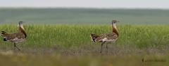 Avutarda  (Otis tarda) (jsnchezyage) Tags: naturaleza bird fauna ave otistarda avutarda birdiong