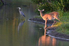 In the Spotlight (NaturalLight) Tags: blue heron female great doe spotlight deer kansas wichita whitetail chisholmcreekpark