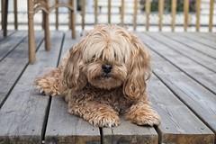 JH167772 - Stewie (geelog) Tags: dog pet calgary neighbourhood stewie