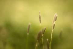 Warm light on tall grass (aveyardphotography) Tags: light orange sun nature grass yellow rural outdoors warm glow seed sunny heads stalks