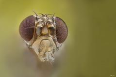 Drosophila melanogaster (EBCN) Tags: barcelona nikon extremecloseup mosca emilio macrophotography d300 extrememacro drosophilamelanogaster zerene emiliobcn moscadelafruta macroextremo nikoneplan