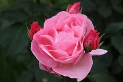 IMG_3183 (spartano2010 - now is the month of roses) Tags: primavera torino colore rosa spine petali maggio giardino boccioli