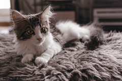 Memory color? (miyukiz4 su ood) Tags: cat kitten gatinho gatito ktzchen chaton  gttino