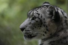 leopardo delle nevi (carlo612001) Tags: snow cat leopardo kitten leopard snowleopard micio micia micina micione leopardodellenevi parcofaunisticolatorbiera