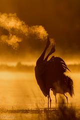 Double shout (lookashG) Tags: morning orange sun bird nature water pool birds animal animals fauna backlight sunrise dawn wildlife natura aves scream animalia woda sunup daybreak poranek rano soce 300mmf28 ptak ranek ptaki rearlight pomaraczowy commoncrane grusgrus wschd zwierzta uraw breakofday pomaracz krzyk wschdsoca wit portretrodowiskowy podwietlenie rozlewisko urawszary urawzwyczajny urawpopielaty lookashggmailcom portraitofenvironmental ukaszgwidziel tylnewiato zaranie sonyilca77m2