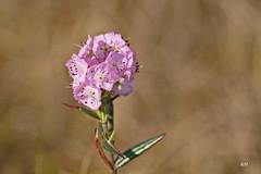Kalmia  feuilles d'Andromde / Bog-laurel (alain.maire) Tags: canada nature quebec ericaceae bog kalmiapolifolia tourbire boglaurel swamplaurel kalmiafeuillesdandromde
