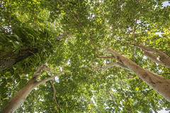 Natural roof (tapanuth) Tags: park wood travel sun sunlight tree green tourism nature beautiful leaves forest thailand nationalpark nikon rainforest perspective atmosphere fresh tropical destination tall lush kohchang trat d610 1635f4n