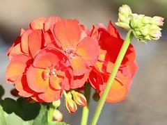 Soria_0070 (Joanbrebo) Tags: flowers flores fleur blossom blumen fiori soria flors autofocus castillaylen efs18135mmf3556is canoneos70d margenesdelduero
