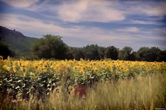 Tournesols en Provence ( EXPLORE ) #492 (coco de carry) Tags: fleurs painting arbres provence nuages champ tournesols paysageprovencal sonydscrx100 t2015