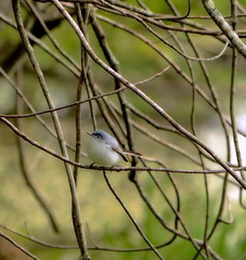 Snowball With Wings (Caroline.32) Tags: tree bird catchycolors branches shrubs bluegraygnatcatcher mchenrycounty mchenrydam