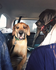 176/366 (moke076) Tags: blue friends pet oneaday car animal project back seat great cellphone cell moose molly fawn sit photoaday subaru dane 365 forester iphone 2016 366 adog project365 365project project366 vsco petsit vscocam