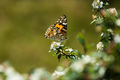Cosmopolitan (michael_hamburg69) Tags: butterfly germany deutschland cosmopolitan hamburg papillon schmetterling paintedlady vanessacardui cynthiacardui distelfalter vanesseduchardon