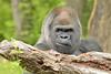 A Silverback Gorilla (018033) (Mike S Perkins) Tags: radi gorilla westernlowlandgorilla kansascityzoo male adult staring protrait gorillagorilla