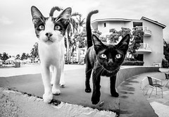 Cuban Felines. (CWhatPhotos) Tags: hotel tryp cayo coco cuba cuban animal wild pet cat feline pussy pussys cats together two holiday holidays cwhatphotos time island hot olympus four hirds water june 2016 photographs photograph pics pictures pic image images foto fotos photography artistic that have which contain digital sky skies clear day sunny sun hols hoteltrypcayococo hoteltryp mono monochrome black white fisheye fish eye wide angle view samyang prime lens feines blackpussy pussyblack catwhite