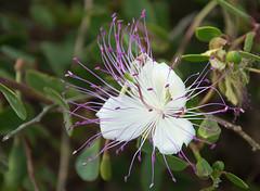 Caper Flower (buhagiaj) Tags: flower caper