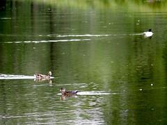 Life is always calm like ducks above water... #Olympus #OlympusEM5 #OlympusOMD #MFT #M43 #YYC (Derman01) Tags: olympus yyc m43 mft olympusomd olympusem5