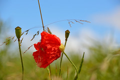 Coquelicot froiss (Croc'odile67) Tags: flowers red fleurs rouge nikon contemporary sigma poppies coquelicots d3200 pavots 18200dcoshsmc