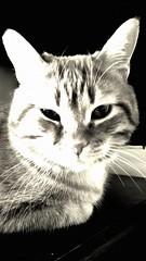 leo b/n (didistella) Tags: cats nature animal natural bn gatto gatti animali