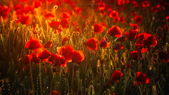 Poppies (artursomerset) Tags: uk flowers light england sun somerset poppy poppies poppyfield