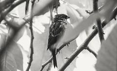 slightly disheveled (Alvin Harp) Tags: blackandwhite bw bird nature monochrome sony september 2015 naturesbeauty lightroomcc sonya7rii fe24240mm sonyilce7rm2 alvinharp