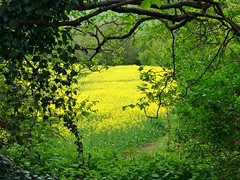 Ecclesfield Vignette. (Keefy243) Tags: trees green yellow rustic frame oilseedrape