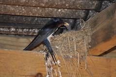 Stable Swallows (Procrustes2007) Tags: hirundorustica swallow bird feedingyoungsters stable bures suffolk nikond90 sigmadg70300f456macro metz24af1