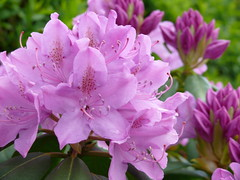 Pink Rhodedendron ! (Mara 1) Tags: pink flowers summer green leaves garden outdoors petals bush head buds rhodedendron blooms shrub