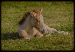 An Icelandic Horse foal (frankmh) Tags: horse animal skne sweden outdoor foal icelandichorse kullagunnarstorp
