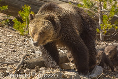 Follow the leader (ChicagoBob46) Tags: grizz grizzly grizzlybear bear sow cub cubs coy cuboftheyear yellowstone yellowstonenationalpark