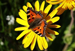 Fuchs on Wild Flower (Hugo von Schreck) Tags: macro me butterfly insect outdoor falter makro insekt fuchs schmetterling givemefive greatphotographers onlythebestofnature tamron28300mmf3563divcpzda010 canoneos5dsr hugovonschreck