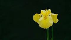 Yellow irises in the darkness (Nobuyuki Ikeda) Tags: iris white flower yellow japan landscape sony  toyama     nanto  inami      nex6