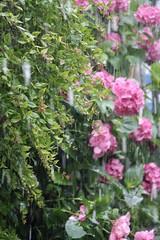 Hail trip il viaggio della grandine #hidrangea #rain #igerstoscana #afterstorm #stormy #stormyweather #grandine #tempestade #ortensie #flowers #florals #fleur #flor #hail #hailstorm #sturm #grele #haglvejr #granizo #firtina #dhoruba #bagyo #dolu #fiumetto (stefola24) Tags: flowers fleur rain hail afterstorm flor stormy granizo florals stormyweather hailstorm sturm tempestade firtina ortensie grandine dolu grele hidrangea bagyo haglvejr fiumetto dhoruba igerstoscana