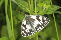 Butterfly - Marbled White (Prank F) Tags: uk white macro nature closeup butterfly insect wildlife rutland marbled ketton wildlifetrust lrwt kettonquarry