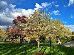 Public Garden in Spring ((Jessica)) Tags: flowers people sun tree boston clouds spring downtown massachusetts newengland sunny dogwood bostoncommon publicgarden pw