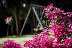 A Small Taste of Summer (Kevin STRAGLIATI) Tags: roses summer flower garden insect backyard playgroung