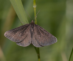 Chimney Sweep (Alan-Taylor) Tags: moth chimneysweep yorkshirewildlifetrust ywt brockadalenaturereserve